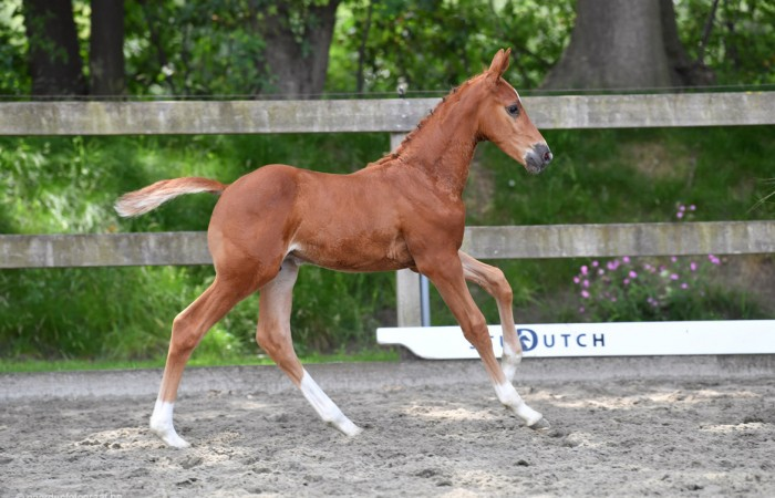 Petit Prince vd Kalevallei (son from 1.60m mare Sissi vh Schuttershof)